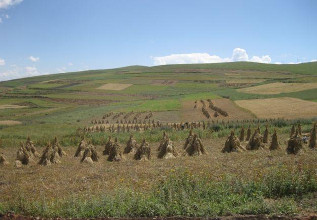 campo de cevada