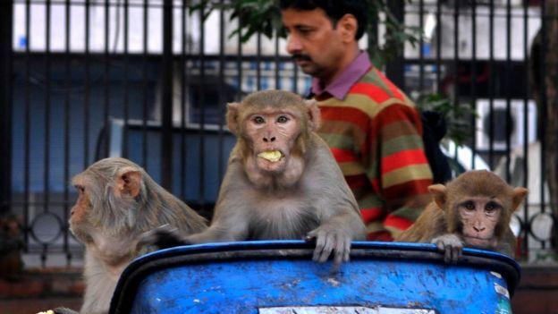 Macacos em lixeira