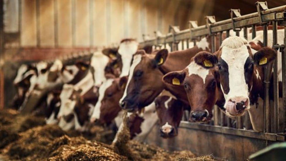 Vacas en un establo