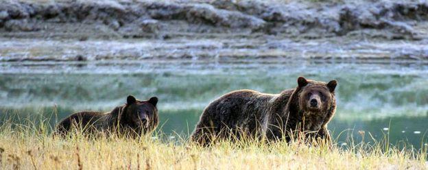 Osos en el parque de Yellowstone