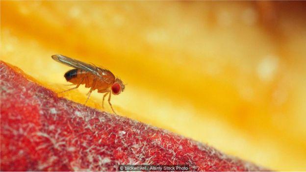 _90715867_mosca6 Mosca-da-fruta é arma para desvendar os grandes mistérios da vida Curiosidades Fotografia Pragas