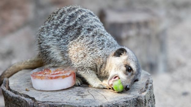 A meerkat enjoys a frozen pea at London Zoo during the heatwave