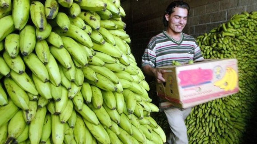 Bananos en Honduras