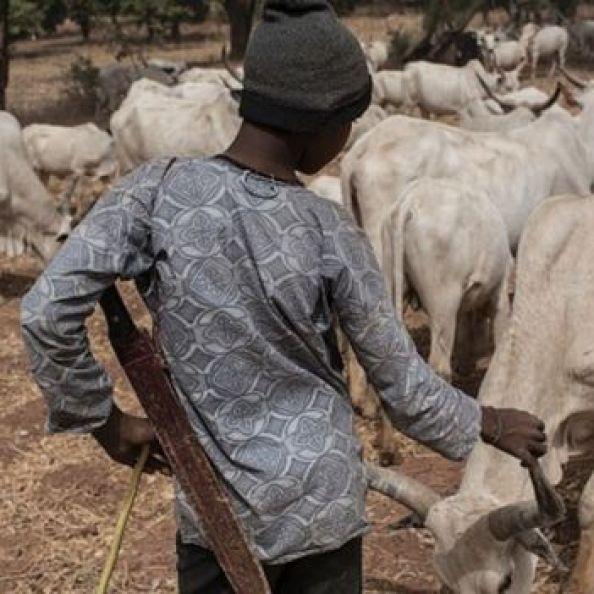 A Fulani herder tends to livestock