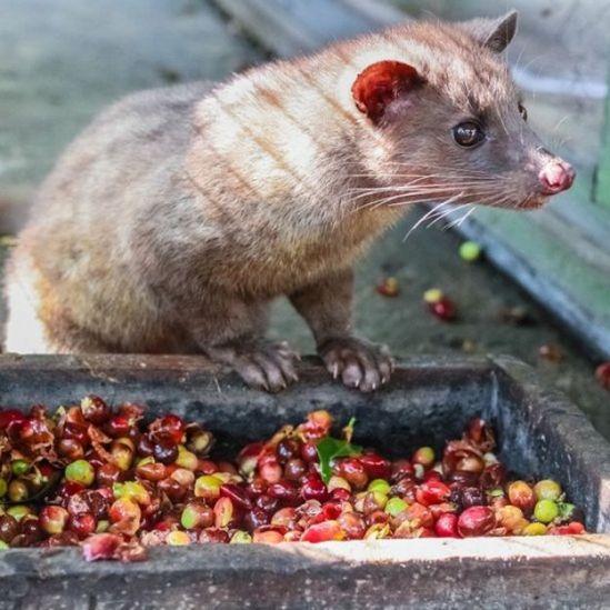 Luwak (civet cat) eating coffee bean : Luwak Coffee is the world most expensive coffee
