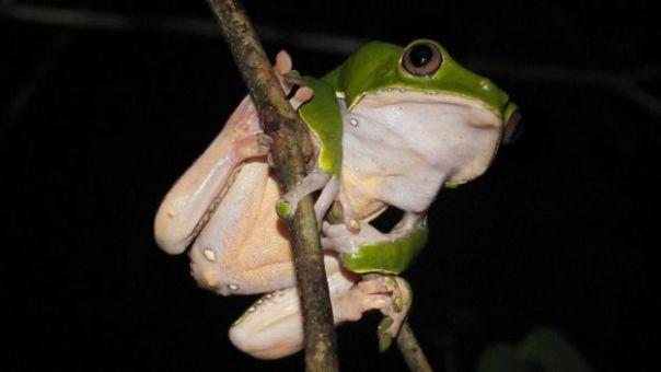 Una rana mono encerada