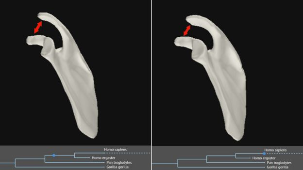 A computer model showing representations of the shape of the shoulder changing over time