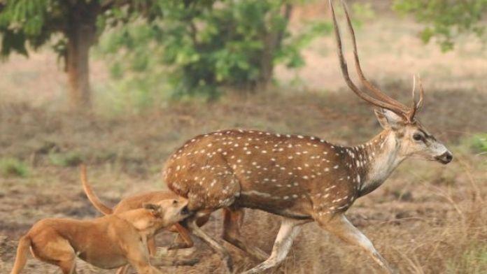 I cani attaccano un cervo maculato nello stato del Karnata, nel sud dell'India