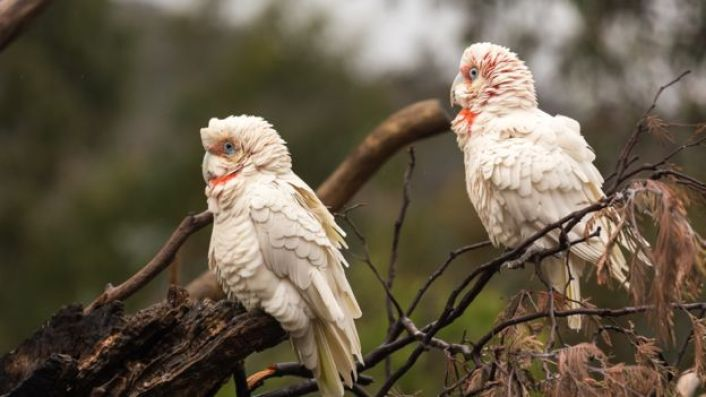 Two corellas sit on a brand in the wild