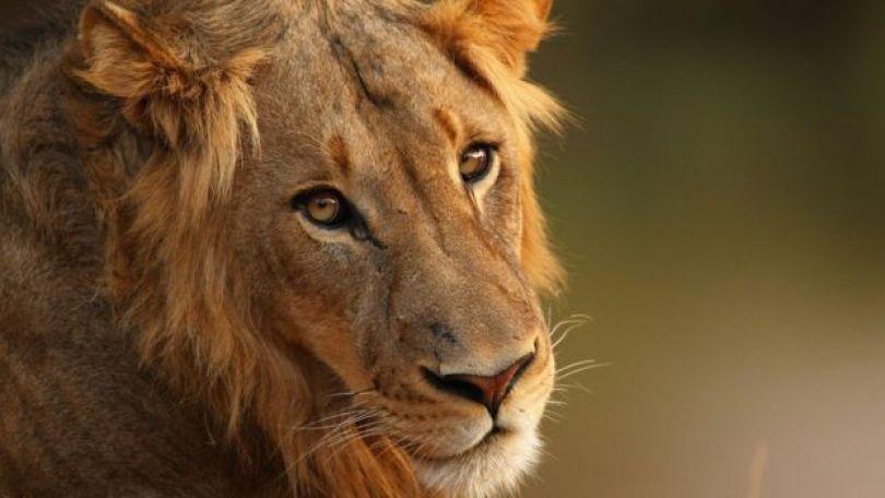 Leão no Kruger Park