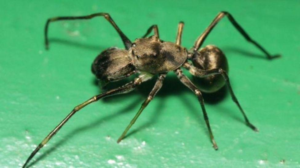 A Toxeus magnus é um tipo de aranha saltadora
