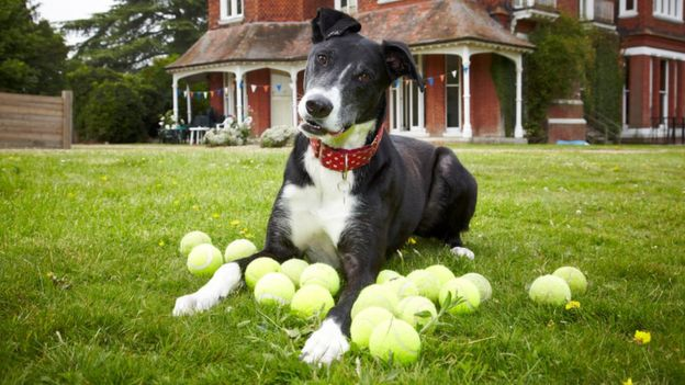 Bud the greyhound cross with some tennis balls