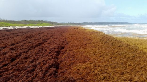 Pemandangan tumpukan Sargassum di salah satu bibir pantai di wilayah Karibia