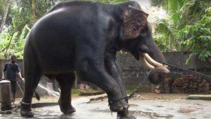 المئات من الفيلة تتعرض للتعذيب باسم الدين والثقافة