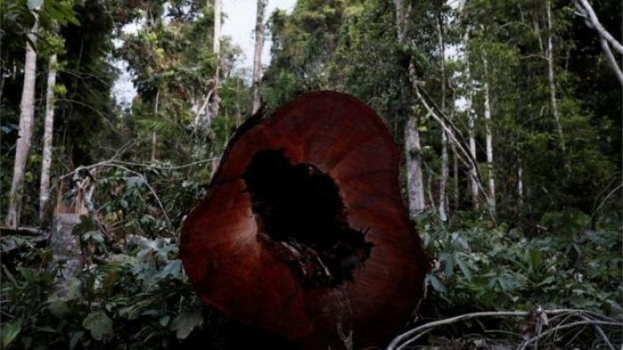 illegally felled amazon tree, Para state