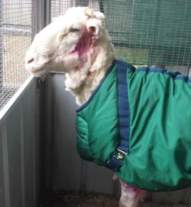 New do: Australian sheep 'Chris' shows off a lighter look, complete with pink antiseptic stains