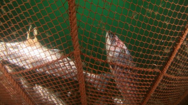 Dead farmed salmon at bottom of fish farm net
