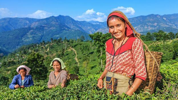 Girls work in tea gardens in Darjeeling