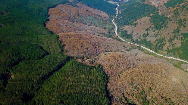 Şili'deki Nothofagus alessandrii ormanlarının geriye kalan son bölümü yeni dikilen ağaçlarla çevrildi.