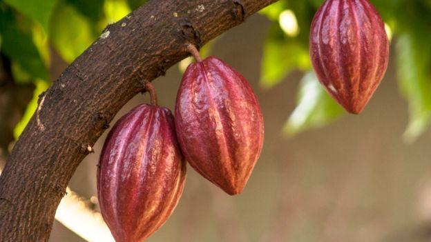 Planta de cacao