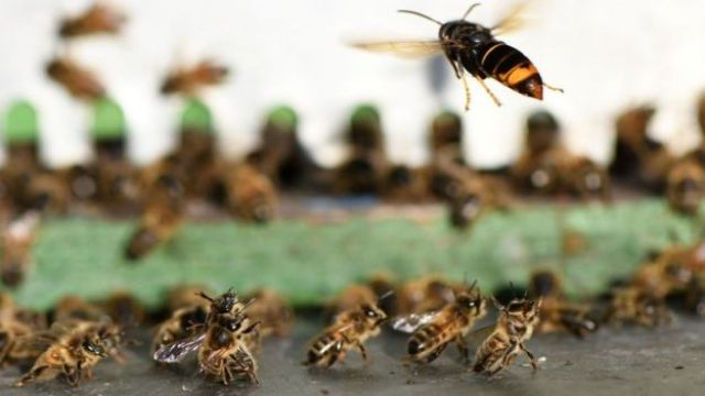 The Asian Hornets prey upon bumblebees