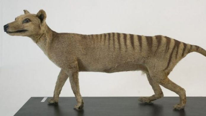 A Tasmanian tiger figurine in a museum