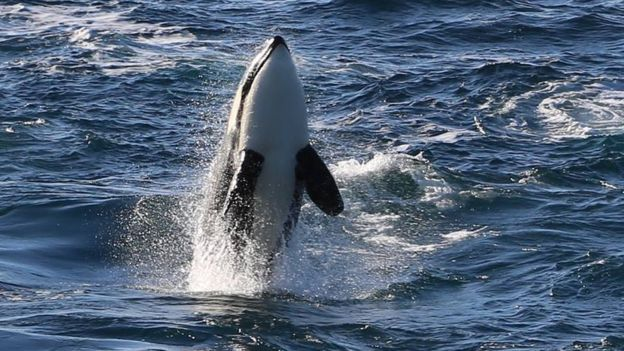 Killer whale pictured in a previous year