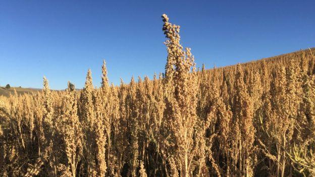 Campo de quinoa.