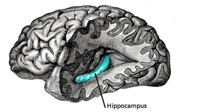 Hipocampo situación en el cerebro.