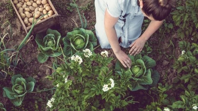 Mulher jovem plantando alface em uma horta