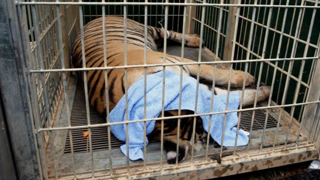 A sedated tiger is seen in a cage as officials start moving tigers from Thailand