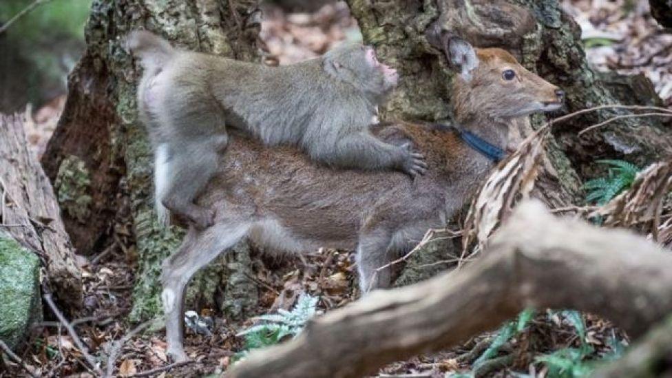 Macaco y ciervo hembra