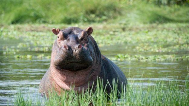 Un hipopótamo de agua salada
