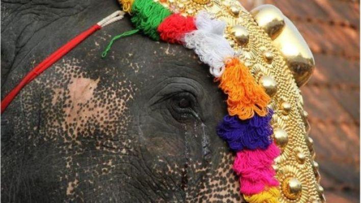 تقول سانغيتا إن الفيلة تتعرض لضغوط بالغة خلال المهرجانات