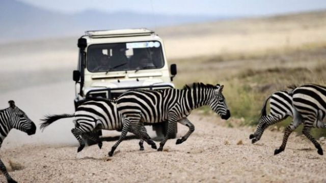 Zebras cross the road in front of a vehicle in the Serengeti national reserve on October 25, 2010