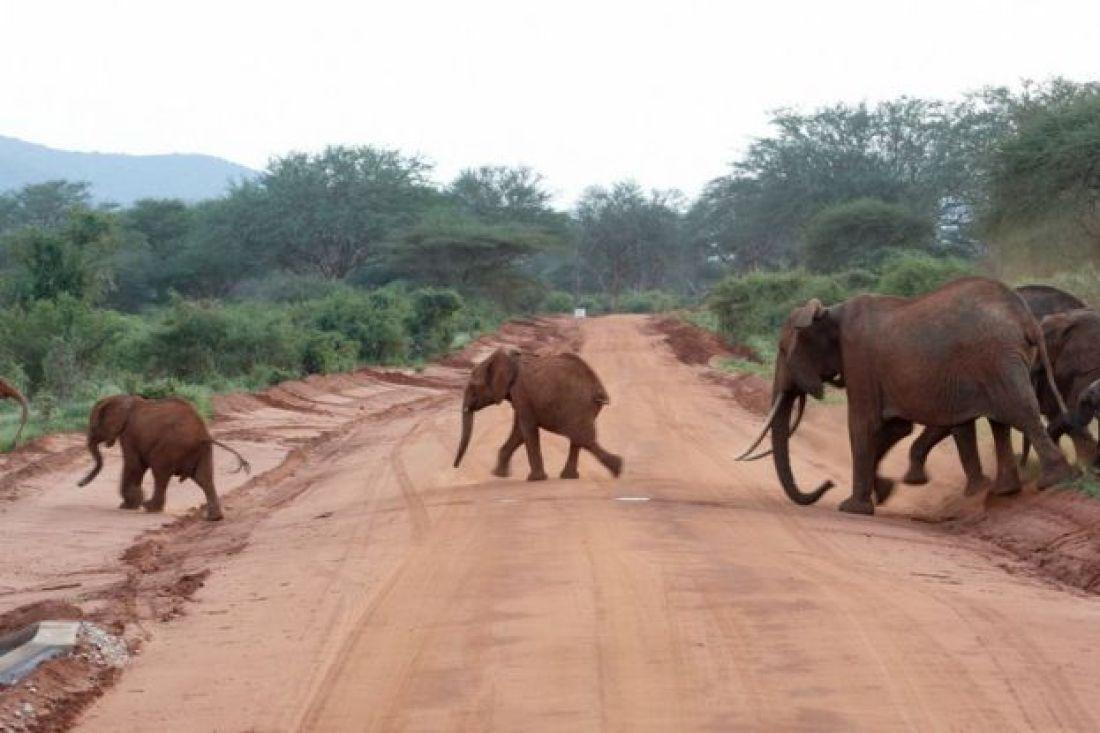 Elefantes corren en una carretera.