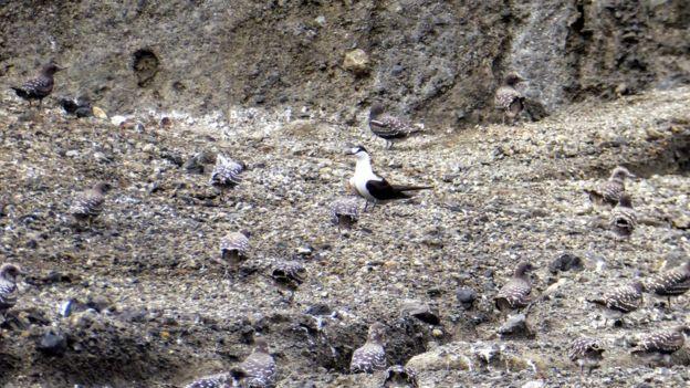 Aves marinhas trinta-reis-das-rocas na nova ilha que surgiu no Pacífico