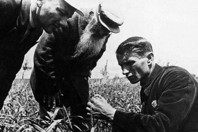 El genetista y agrónomo soviético, cuando era presidente de la Academia Lenin de Ciencias Agrícolas, Trofim Lysenko midiendo el crecimiento de trigo en un campo de granja colectiva cerca de Odessa en Ucrania.