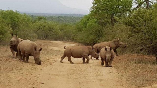 Grupo de rinocerontes filhotes em reserva