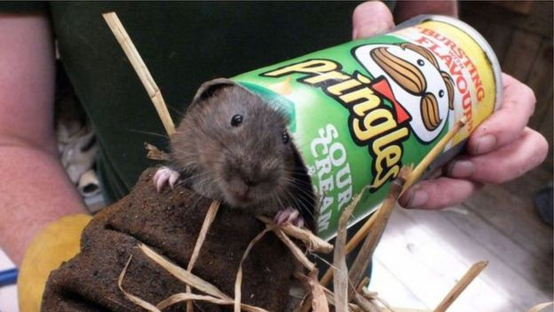 Water vole in a food snack tube