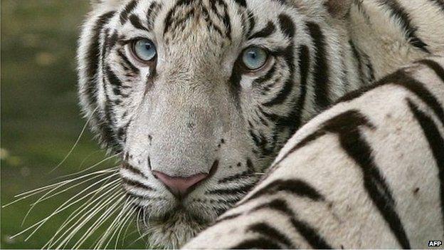 Foto de tigre branco em um zoológico na Índia