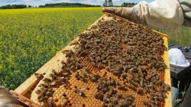 The field study found no significant effect on honeybees