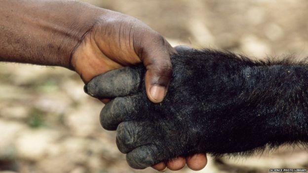 Man and gorilla shake hands