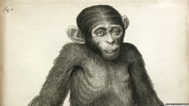 A chimpanzee. Image taken from Orang-Outang, sive Homo Sylvestris: or, the Anatomy of a Pygmie compared with that of a monkey, an ape, and a man
