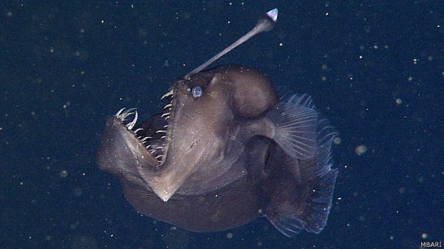 Graban por primera vez al temible pez 'diablo negro del mar' - BBC News  Mundo