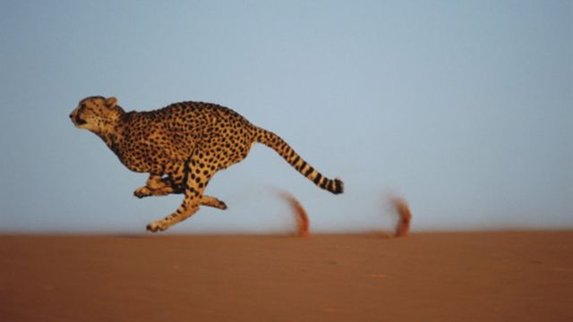 The cheetah is the fastest land animal in the world