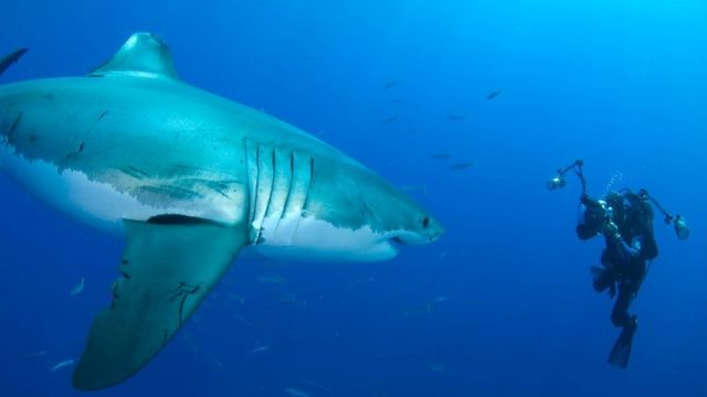 Amos Nachoum photgraphing a great white shark under water