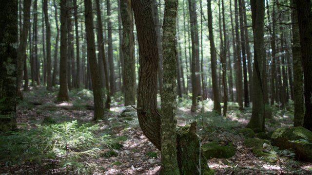 缅因州的森林
