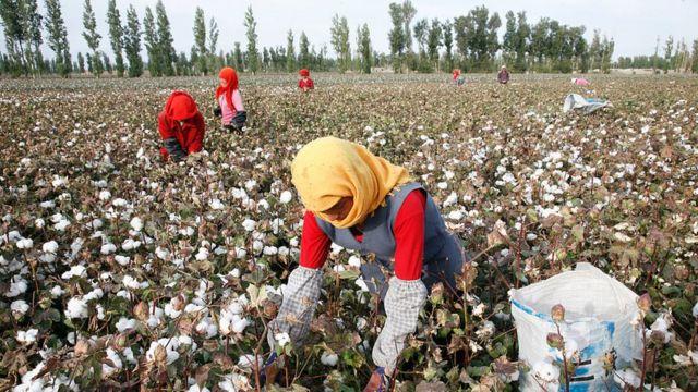 중국은 위구르족 등 소수민족을 신장 면화 수확 노동에 강제 동원되고 있다는 의혹을 받고 있다