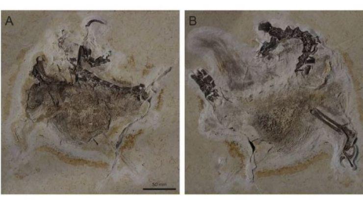 Duas imagens de fóssil inserido em rocha